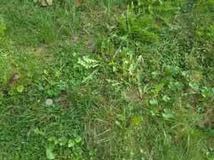 cicoria selvatica Tarassaco 2015-09-27