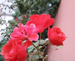 Boccioli di rose - poesia di Angela Battaglia