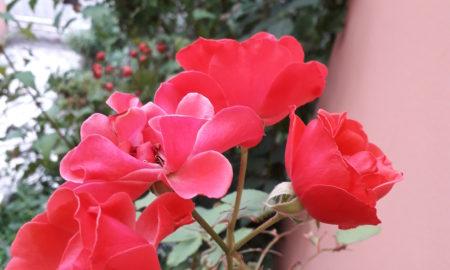 Boccioli di rose – poesia di Angela Battaglia